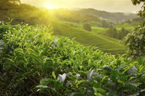 Where Is Tea Grown and How to Minimize the Carbon